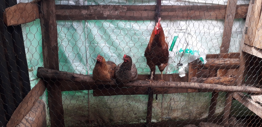 Our Kenyan Chickens (Kenyan Chickens #1)